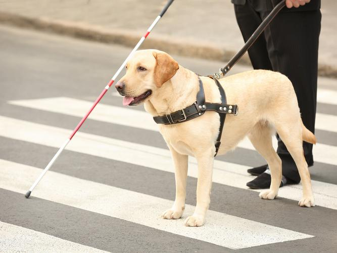 Guide dog helping blind man on pedestrian crossing. (Shutterstock)
